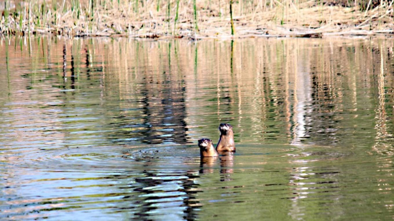 Otters at Dead Horse Ranch State Park – Dennis Tomko