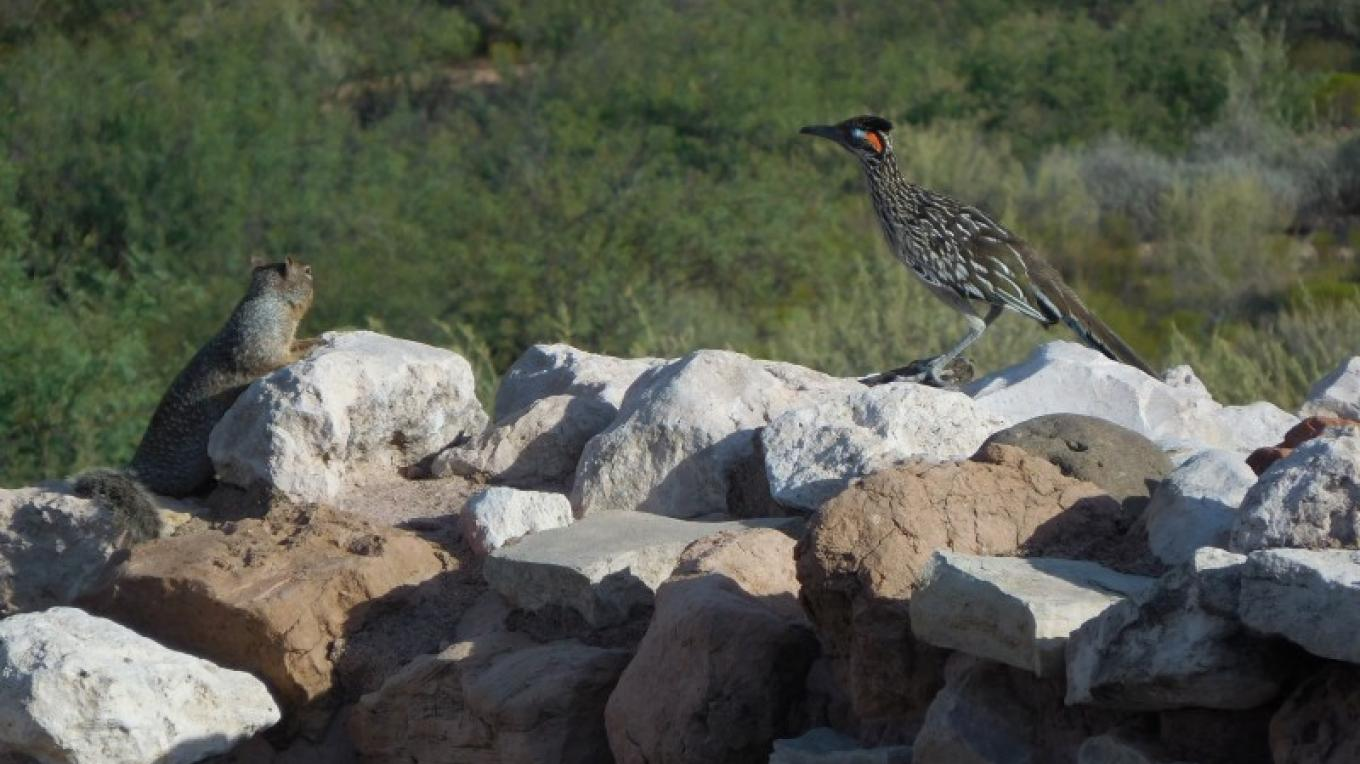 A ground squirrel and roadrunner seem to be chatting on a wall at Tuzigoot – Mary Ontiveros