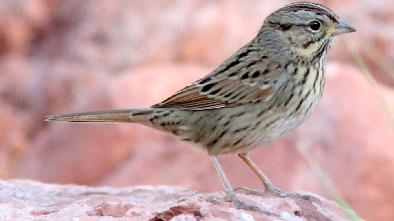 Wintering Lincoln's Sparrows frequent the creek in the Verde Valley. – Timothy T Weber