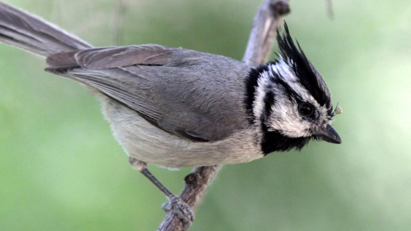 A Bridled Titmouse forages in the Cottonwoods along Oak Creek. – Timothy T Weber