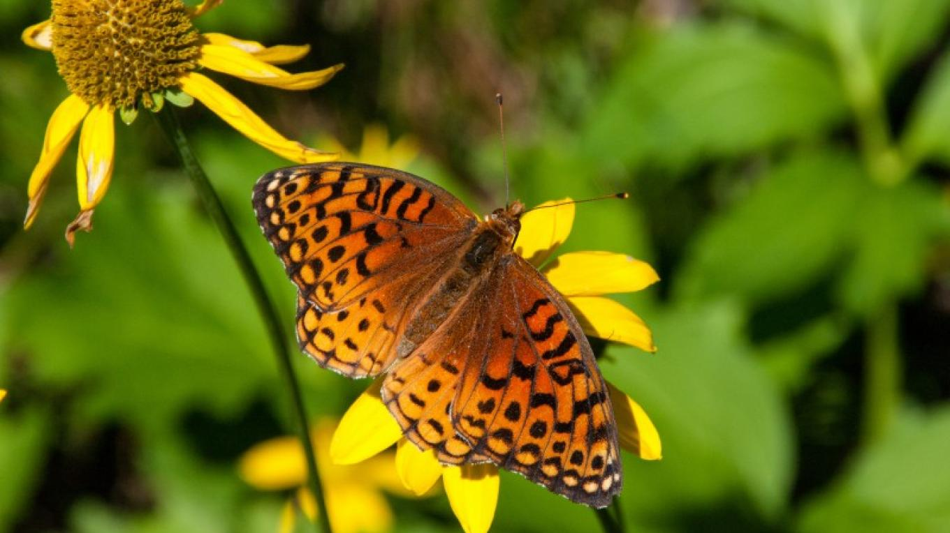 Checkerspot Butterfly. – Deborah Soltesz, Coconino National Forest Employee