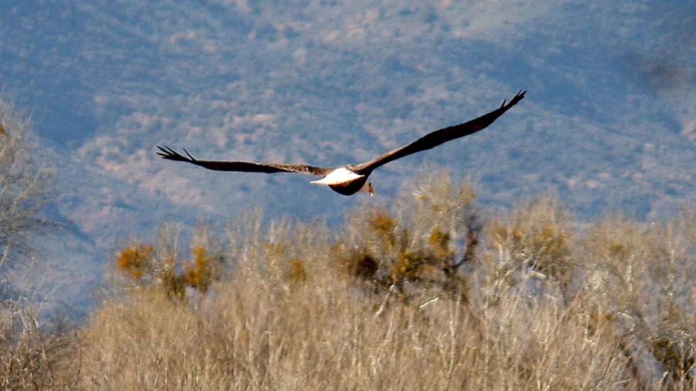 American Bald Eagle – Dennis Tomko