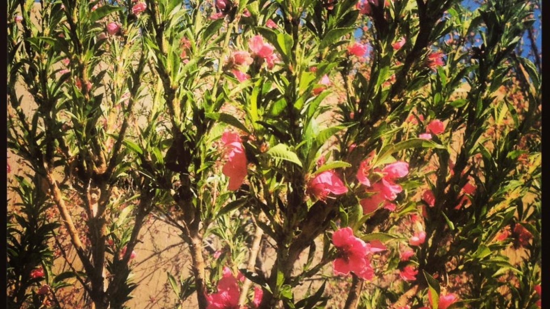 Almond Tree in Full Bloom – Jen Marie