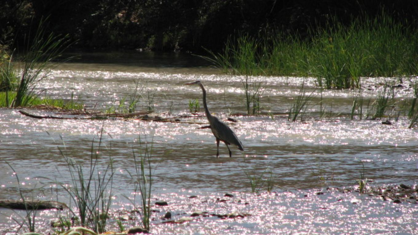 Verde River Greenway with the 'blue heron' mascot bird. A quarter mile walk from the Cottonwood Hotel, down the 'Jail Trail'. – Karen Leff