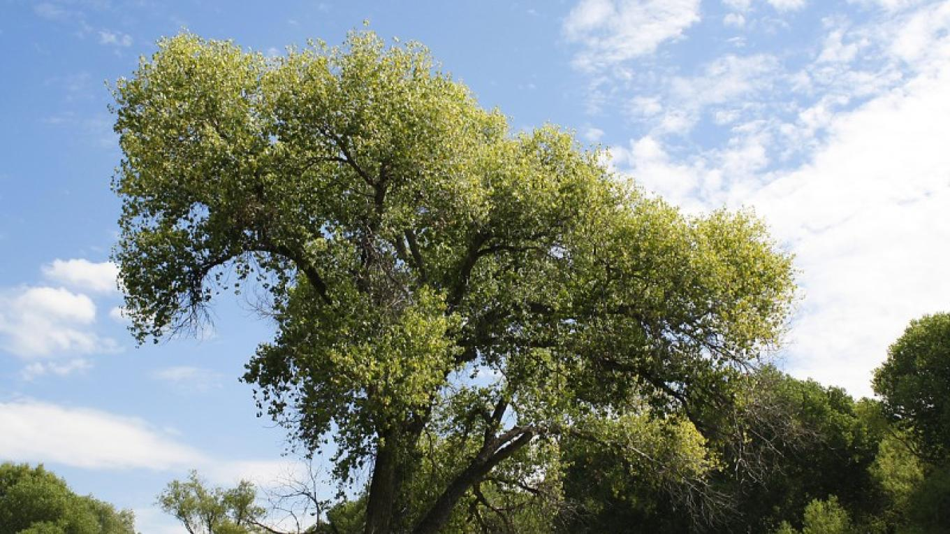 Many magnificent old Cottonwood trees. – Dennis Tomko