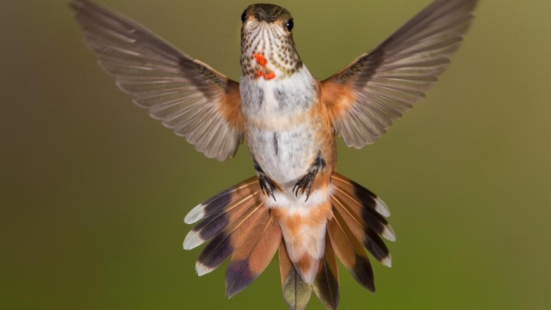 Rufous Hummingbird – Eric Gofreed