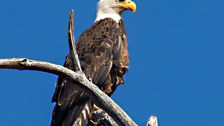 American Bald Eagle – Doug Von Gausig