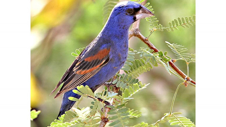 Blue Grosbeak – Doug Von Gausig