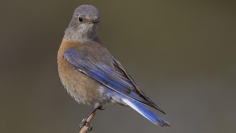 Western Bluebird - female – Eric Gofreed