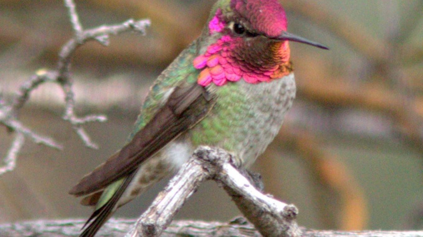 A male Anna's Hummingbird's gorget reflects the light. – Timothy T Weber