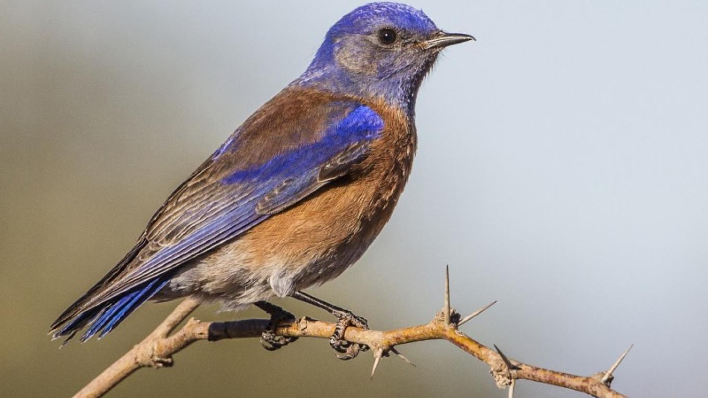 Western Bluebird - male – Eric Gofreed