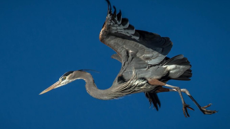 Great Blue Heron – Eric Gofreed