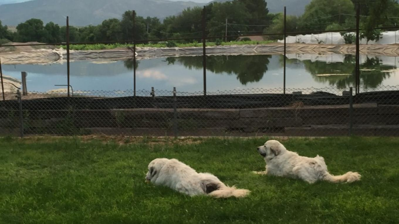 The Great White Pyrness guardians resting in the summer backyard grass – SL MESA