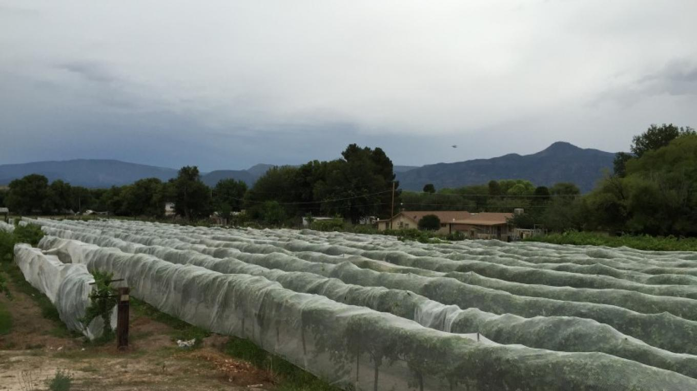 Protecting the grapes from birds, bees and bugs prior to harvest 2015 – IM MESA