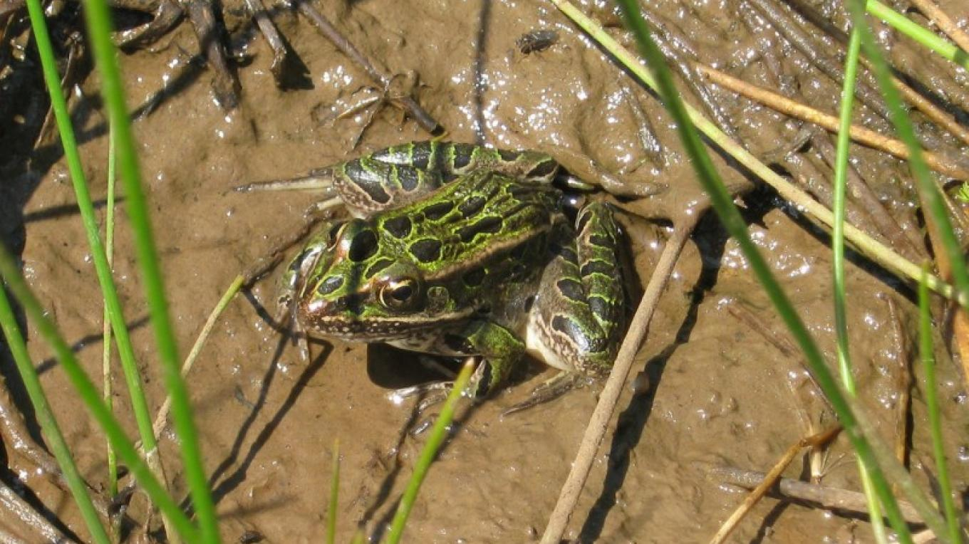 Northern Leopard Frog. – Brady Smith, Coconino National Forest Employee