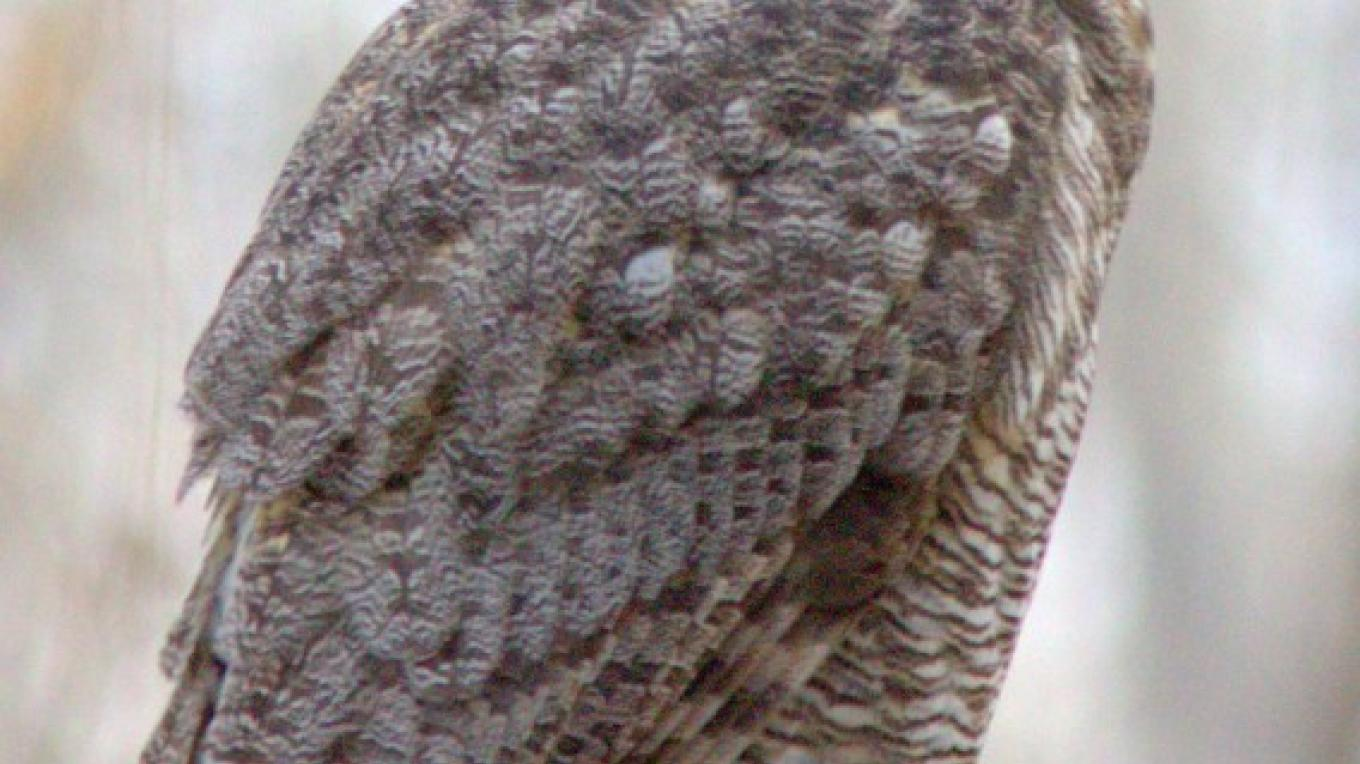 A Great Horned-Owl relaxes during the day at the Page Springs Fish Hatchery. – Timothy T Weber