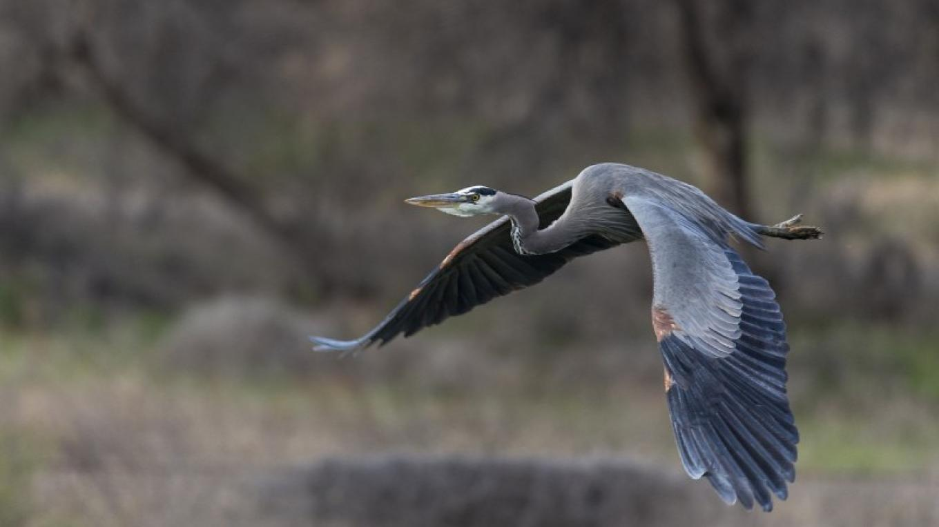Great Blue Heron – Ted Grussing