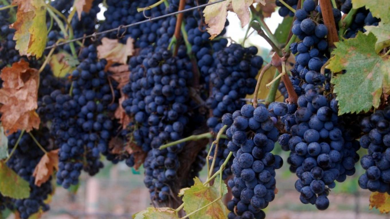 Alcantara Vineyards