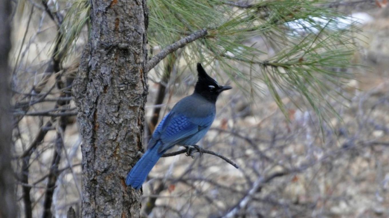 Stellar's Jay in a Ponderosa pine tree. – Brady Smith, Coconino National Forest Employee