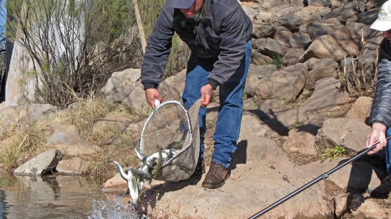 Stocking trout in the Verde River – Gayle Mabery