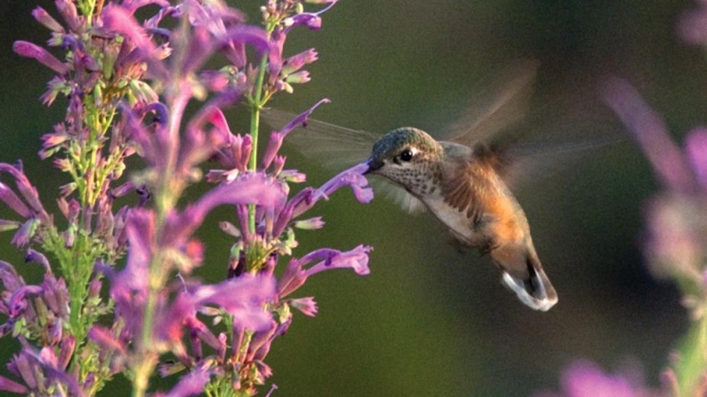 A migrating rufous hummingbird seeks nourishment in Sedona, Arizona, at the Agastache 'Ava' blossoms. – Beth Kingsley Hawkins