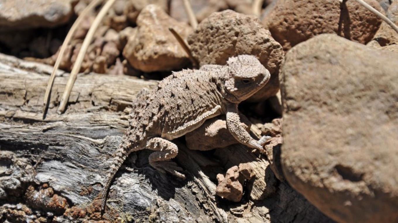 Horned Lizard. – Brady Smith, Coconino National Forest Employee
