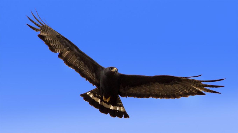 Zone-tailed Hawk – Eric Gofreed