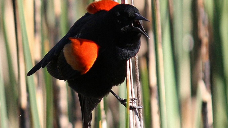 Red-winged Blackbird Calls. – Dennis Tomko