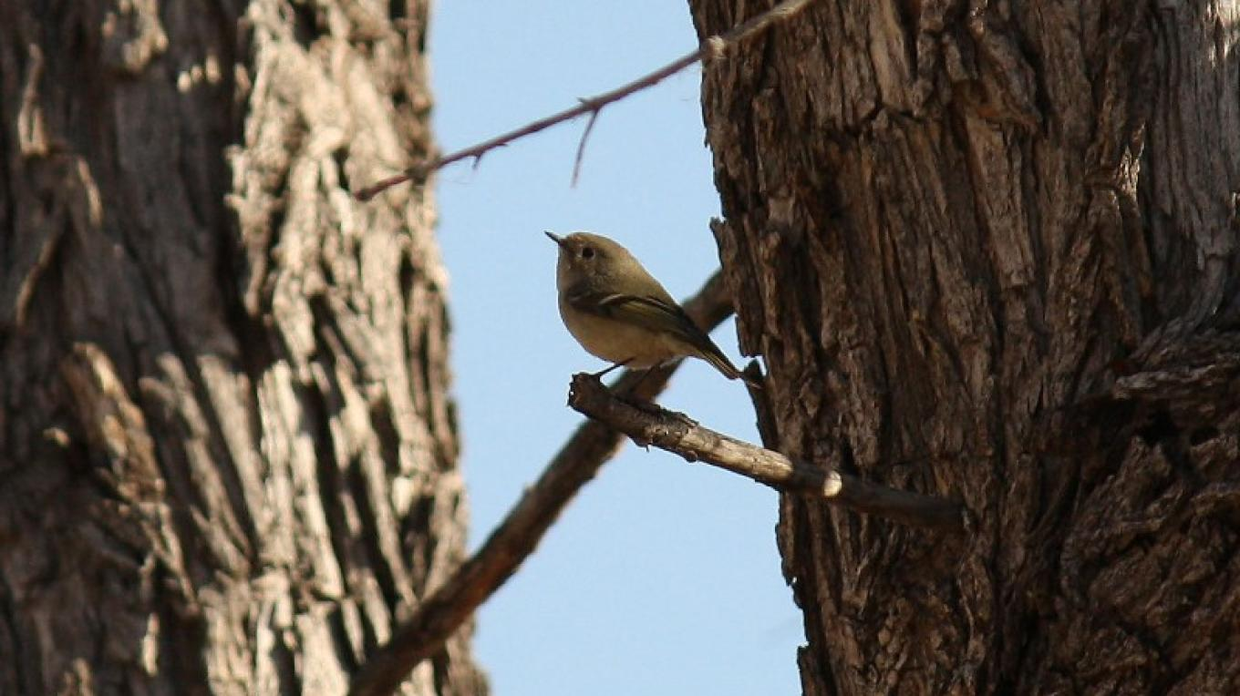 Ruby-crowned Kinglet – Dennis Tomko