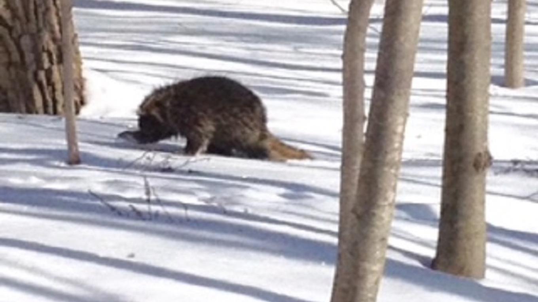 Native Porcupine – Phyllis Ianniello