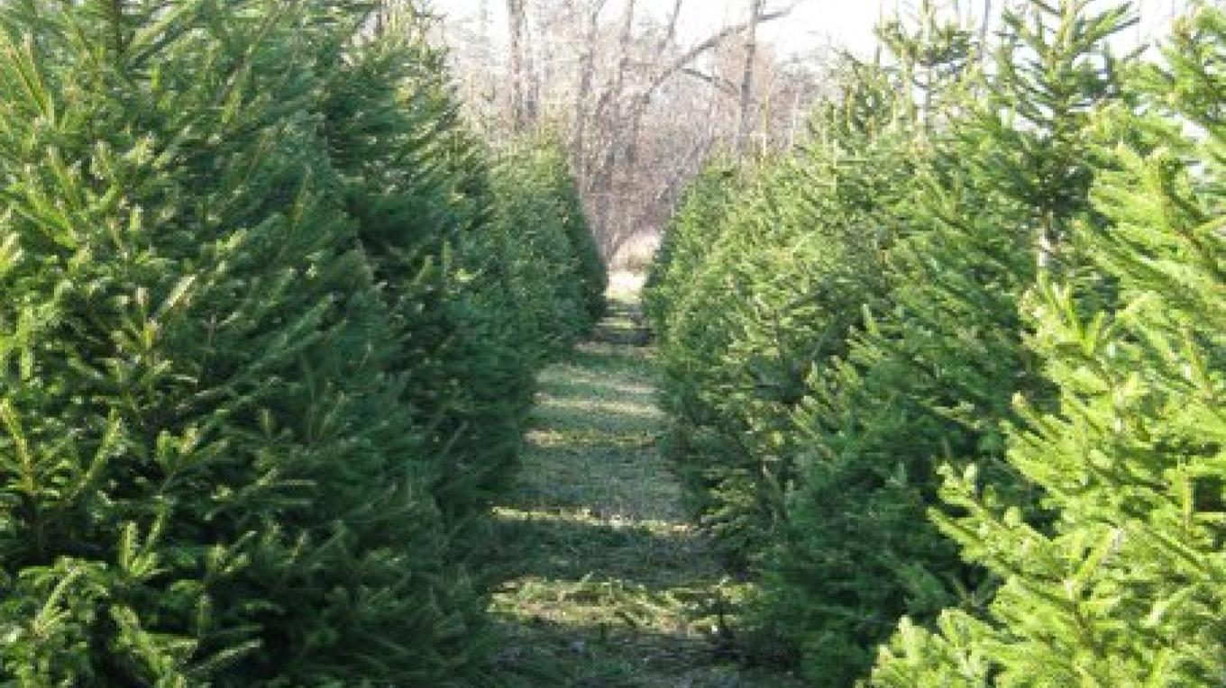 Christmas Trees, plenty to pick from – Jan Jorritsma