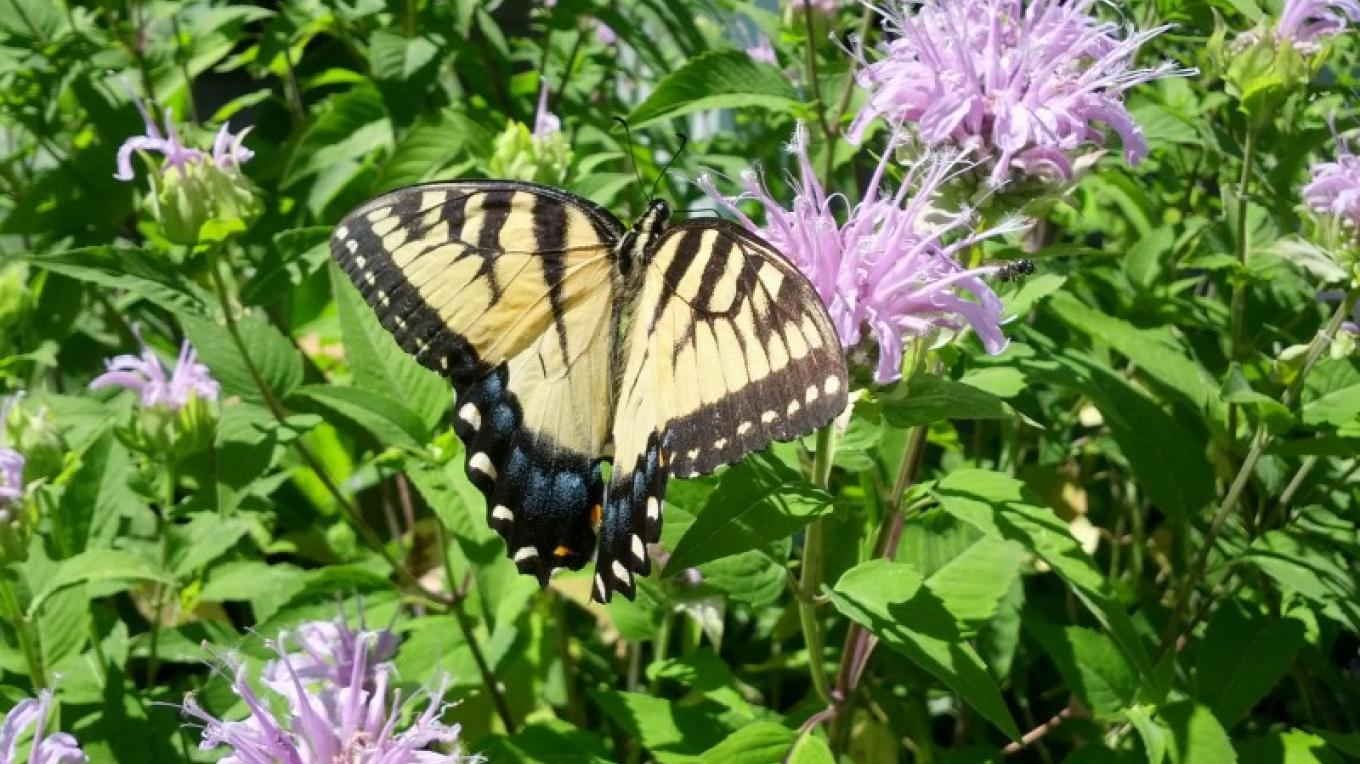 Yellow swallowtail butterfly on wild bergamot – Tim Dunne