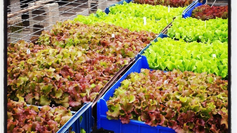 Organic lettuce seedlings in the greenhouse awaiting transplanting. – Amber Gray