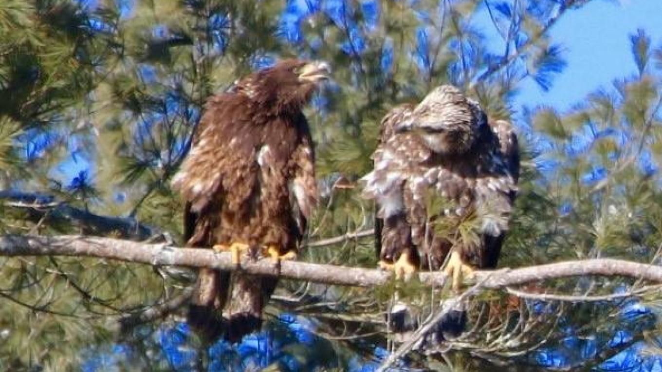 Eagles (On the River in Sullivan County) - By Jerry Cohen – Jerry Cohen