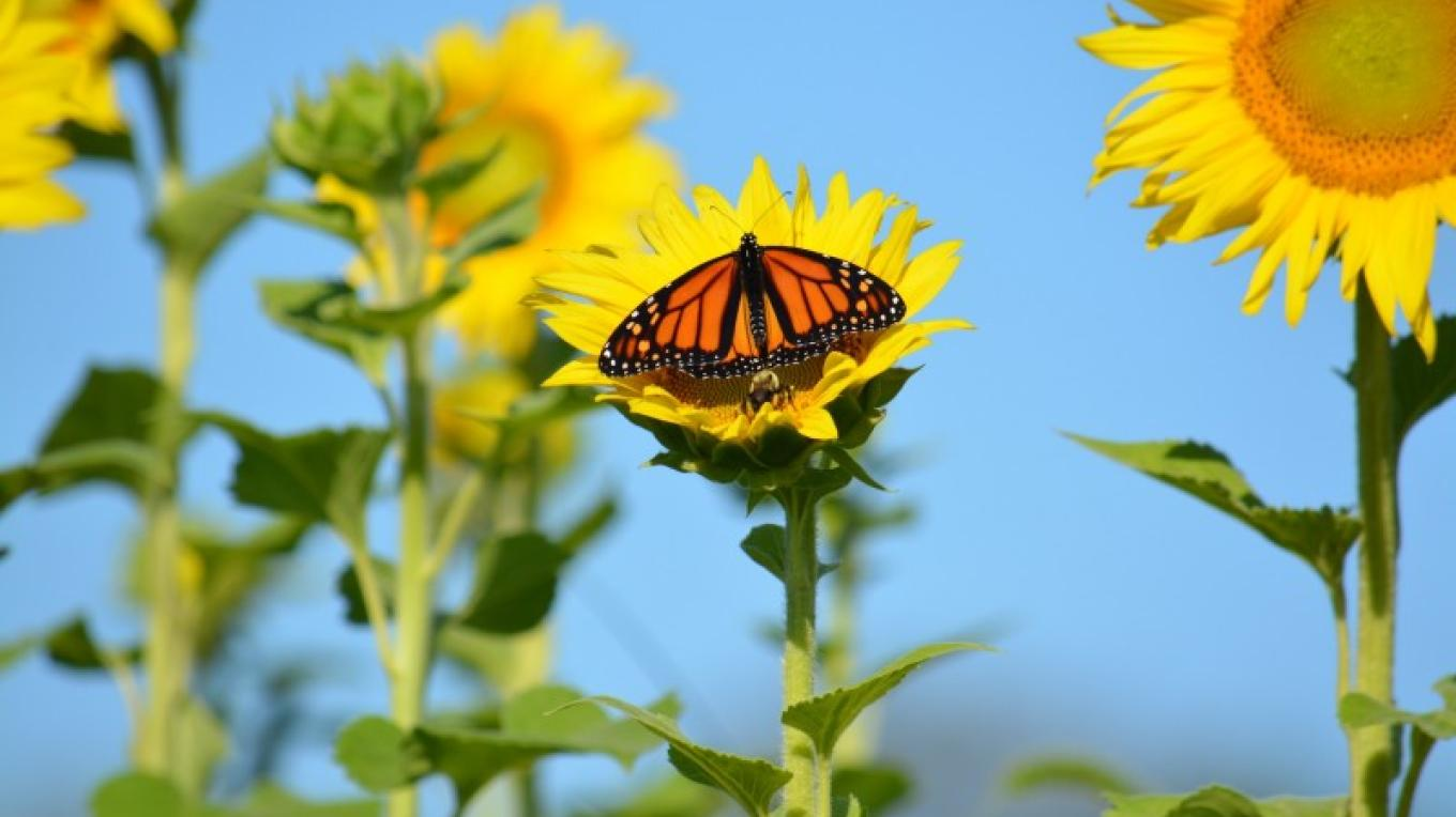 Monarch on Sunflower – Raj Sinha