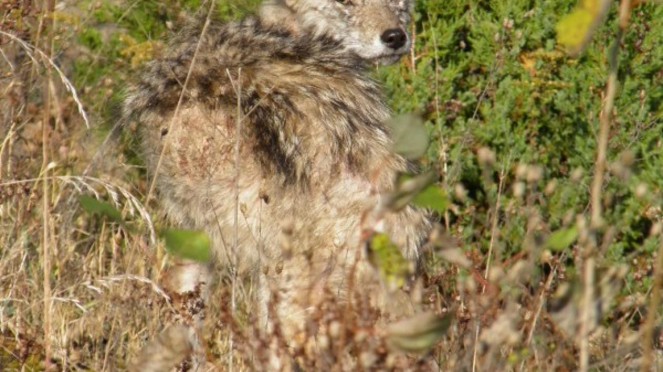 Coyote at Old Mine Road – John Parke