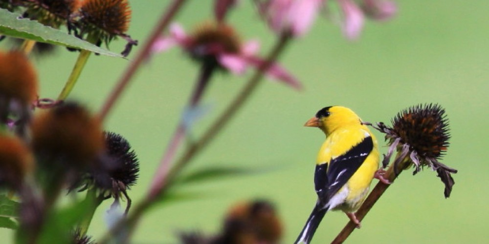 American Goldfinch (male) - Kittatinny Valley State Park Gardens – Lynn K. Groves