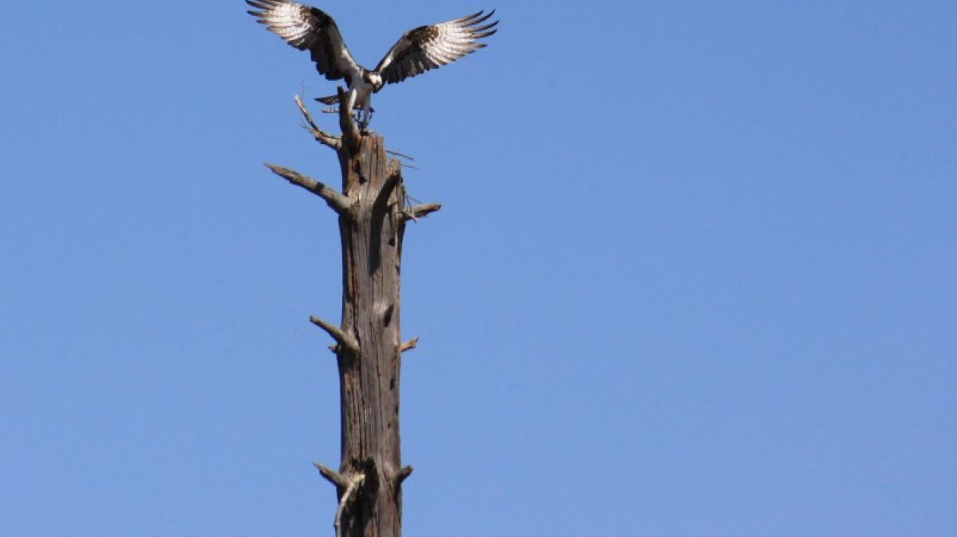 Osprey beginning to build nest with sticks. – Justin Schmidt
