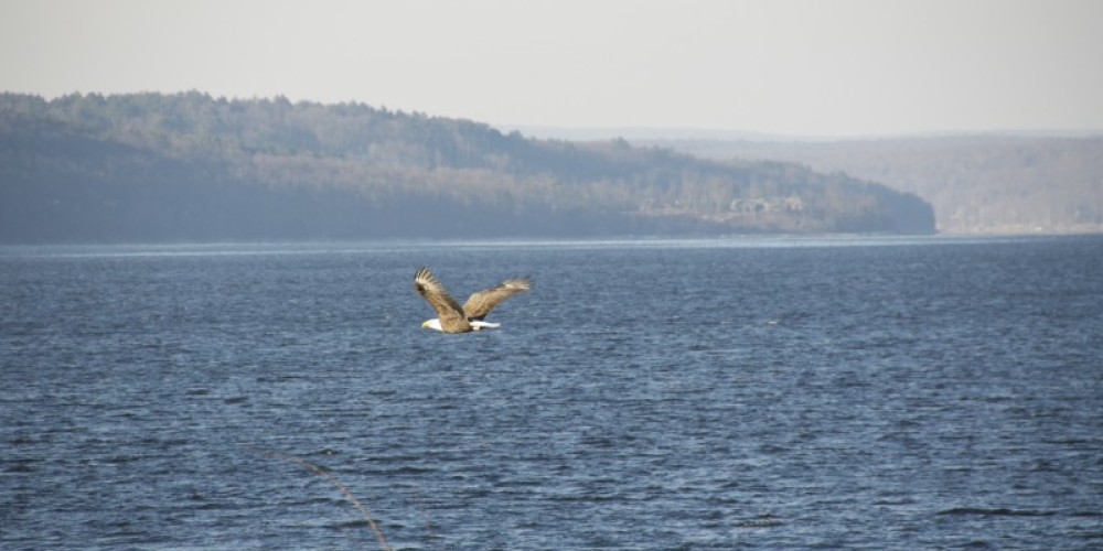 Watch the Bald Eagle in flight. Sometimes you will be able to see them scoop down and pick up a fish! – Wallenpaupack Scenic Boat Tour