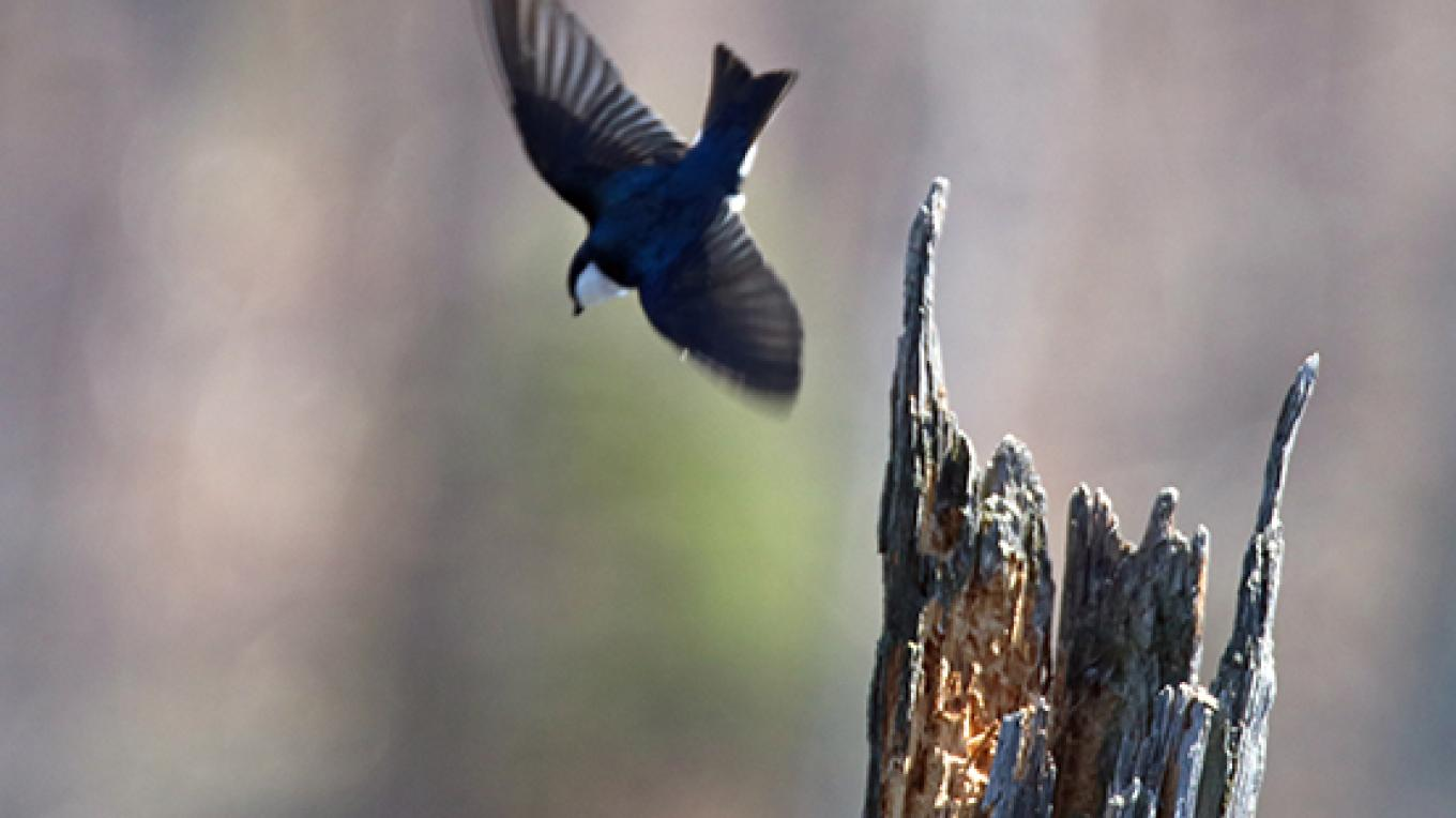 A nesting swallow on a mission. – Nancy J. Hopping
