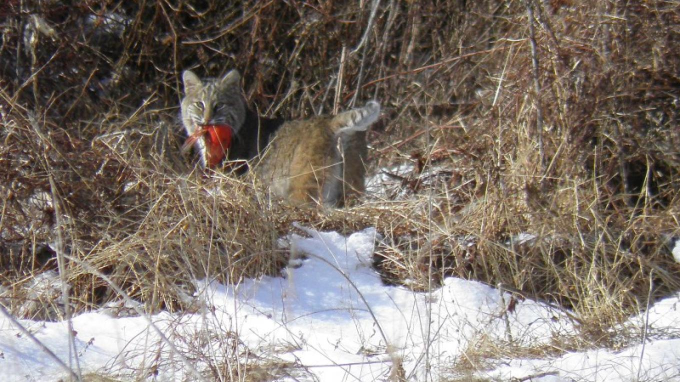 Bobcat with Cardinal at Old Mine Road – John Parke