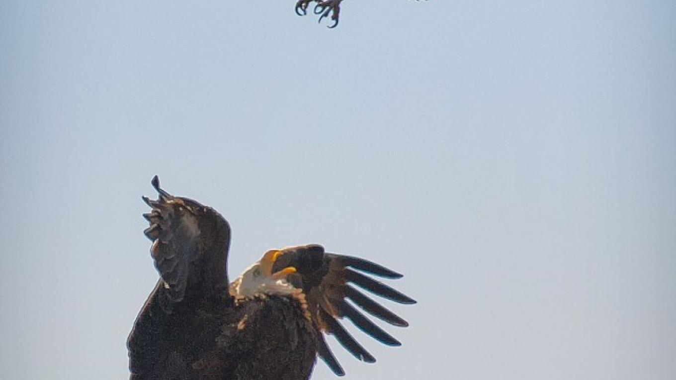 A bald eagle reacts to an unwelcome visitor near its nest at ForEvergreen Nature Preserve. – Russell Thrall III