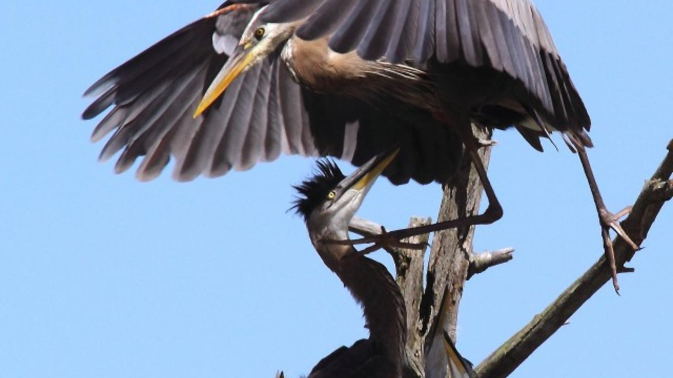 Advocating for the protection of wildlife habitats. Pictured: Blue Heron Rookery in Delaware Water Gap National Recreation Area. – Dawn Benko Geotourism Photo