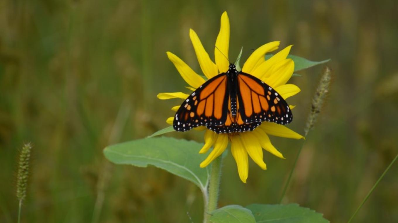 Large Monarch on Sunflower – Raj Sinha
