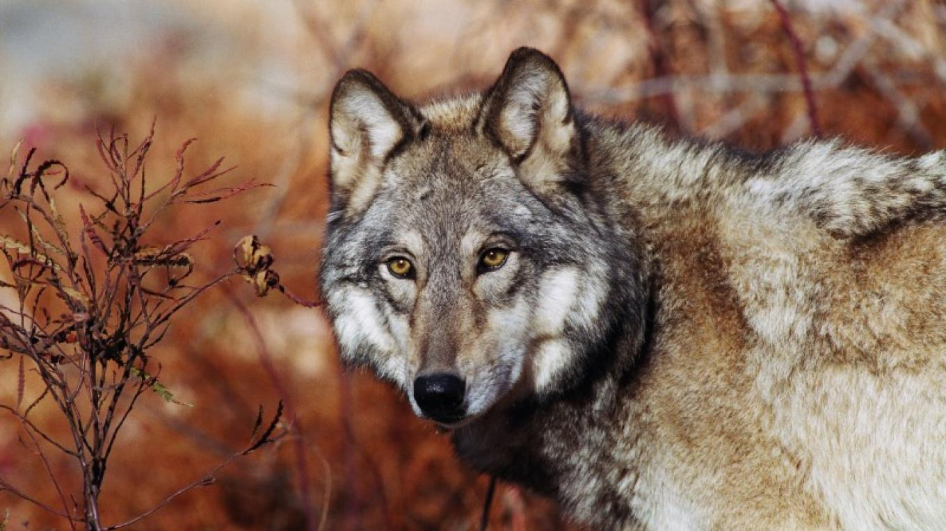 Hear the wolves of Lakota Wolf Preserve howling from your campsite. – Dan Bacon