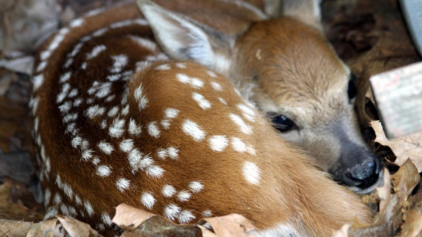 A young Fawn born in our woods. – Kittatinny Canoes, Inc