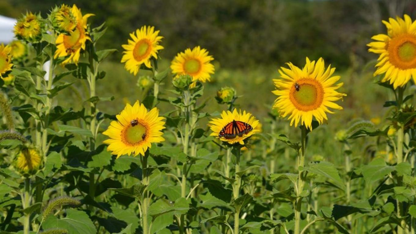 Bees, Monarchs, sunflowers and more. – Raj Sinha