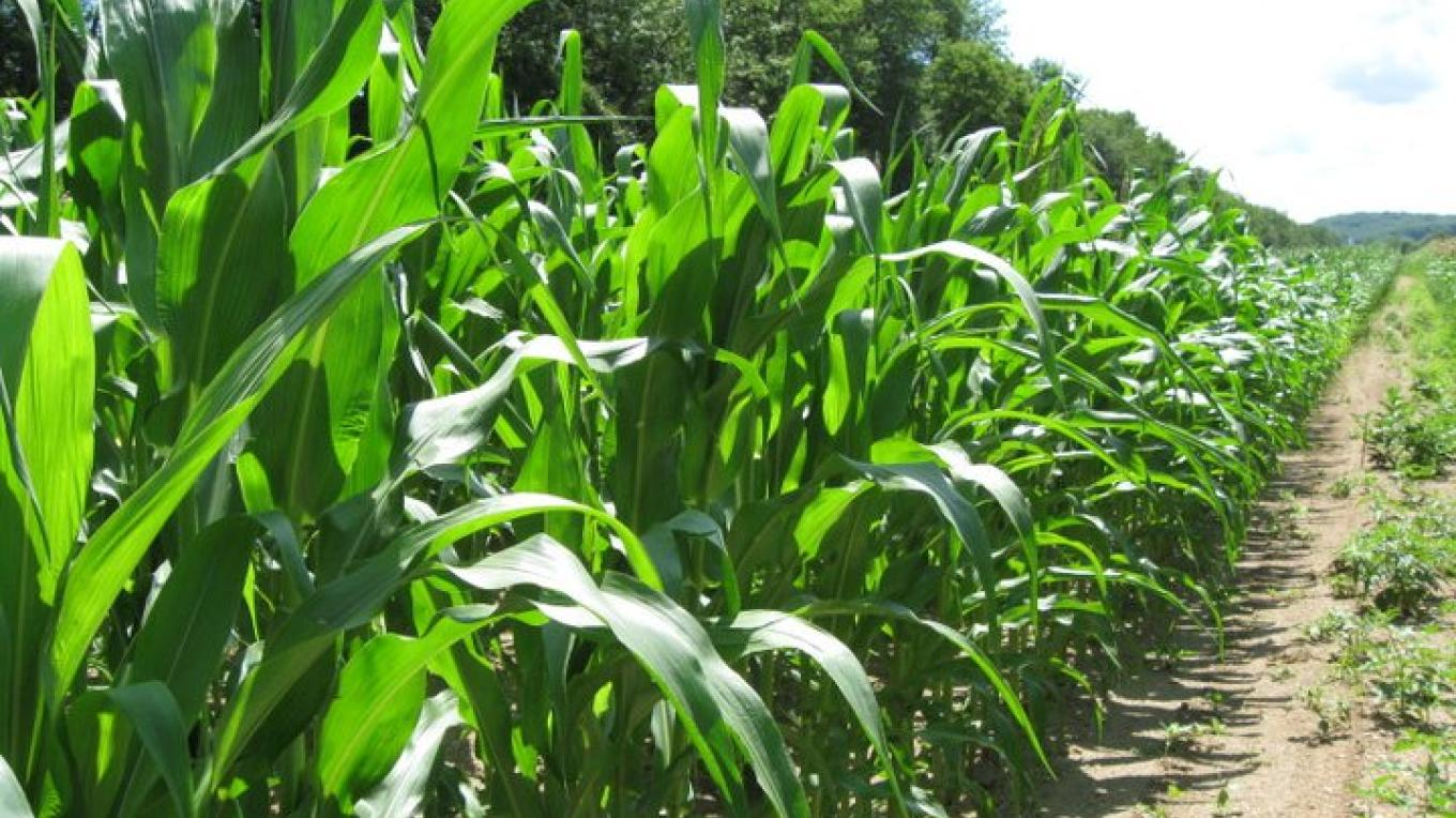 Acres of Sweet Corn – Jan Jorritsma