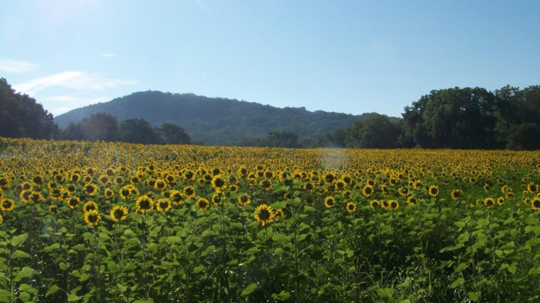 NJ Audubon Wattles Center sunflower field with Point Mt. in background – John Parke