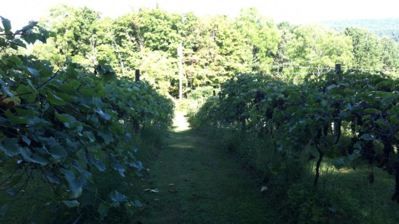 Grape vines – Eric Schramm